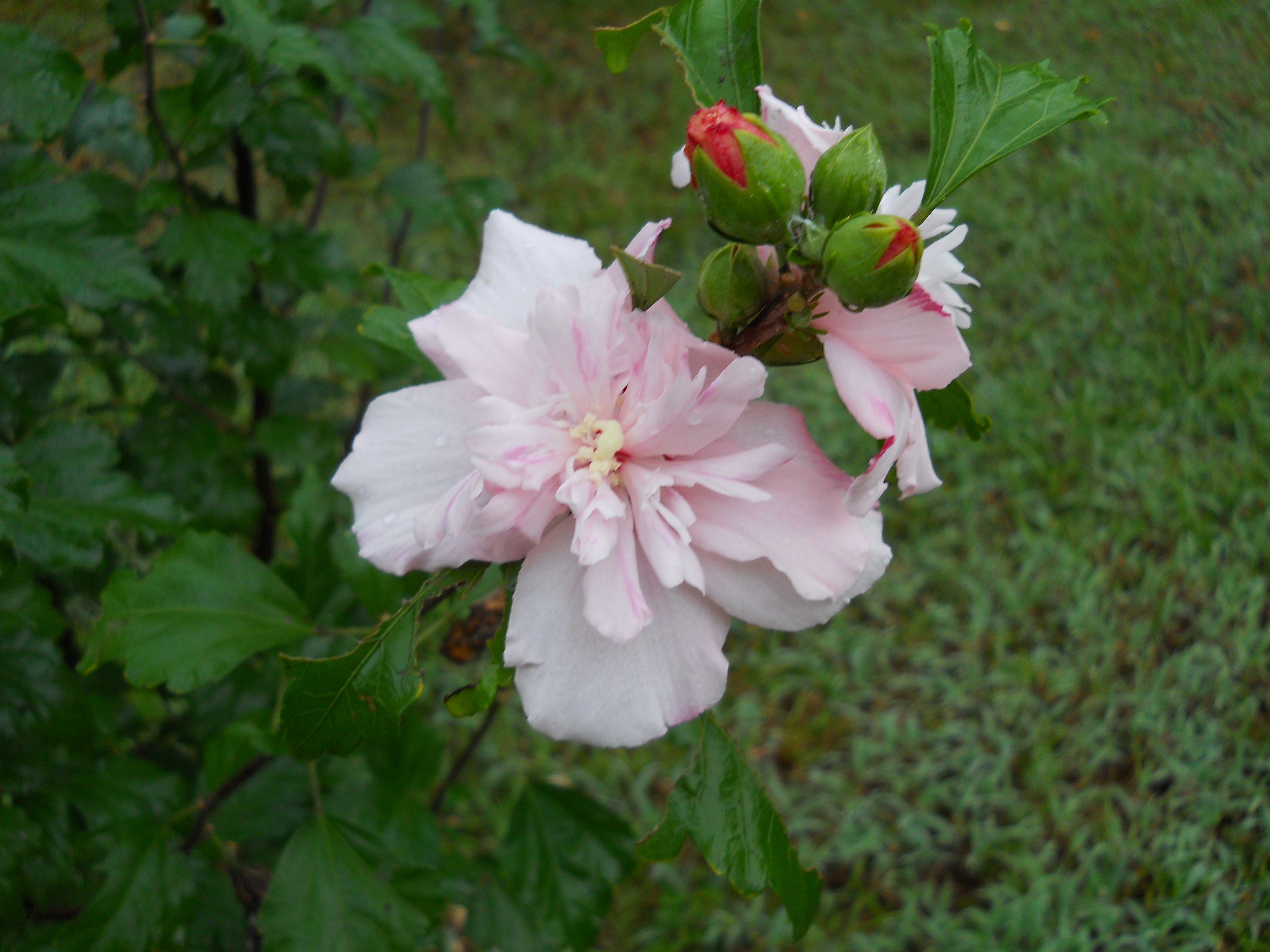 Rose_of_Sharon_-_double_bloom