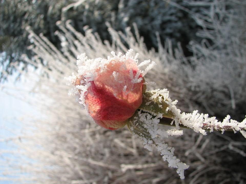 Roze ziema
