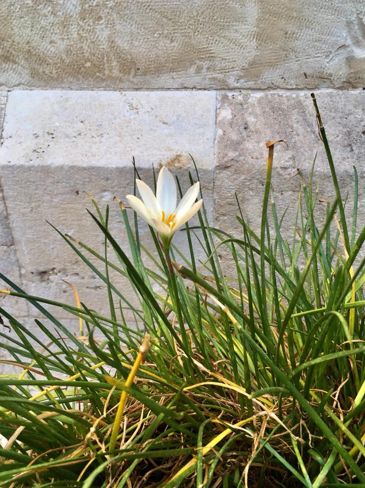 Gėlė Jeruzalėje. Indrės