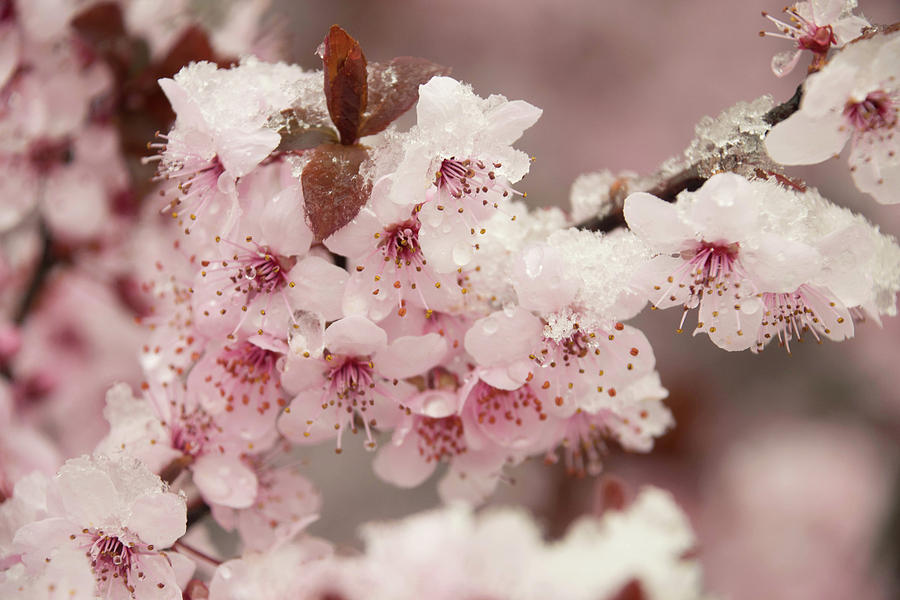 Vysnios zydi sniege ziema Snow On Cherry Blossoms 2 is a photograph by Julie Richie which was uploaded on January 7th, 2018.