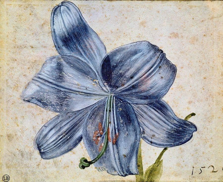 Lelija Albrechtas Diureris Studija su lelija 1526 ryšku
